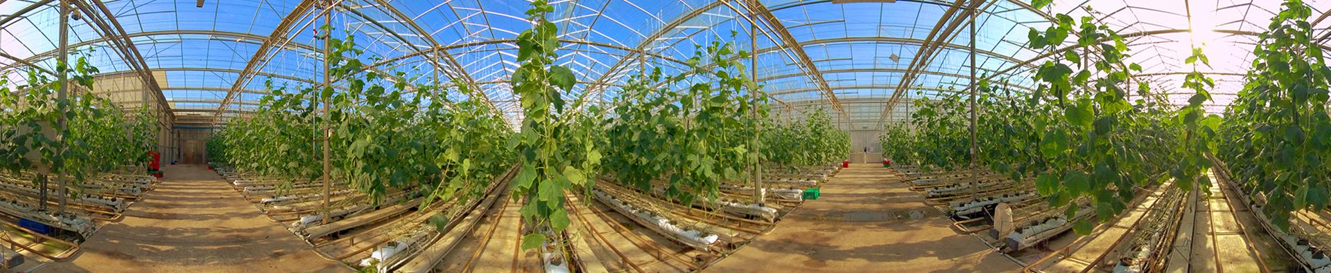 dube-cucumbers-agrizone